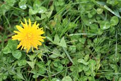 Dandeliion flower and Clovers  blooming  in lawn. Dandelion flower open on a Lawn. With clovers Shamrocks  around it. The clovers have water droplets on it Stock Photo