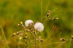 Dandelion Flower in perspective 01 royalty free stock images