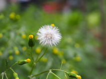 Dandelion flower. A piece of raw nature with a simple dandelion flower Stock Photos