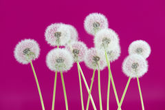 Dandelion flower on pink color background, group objects on blank space backdrop, nature and spring season concept. Stock Image