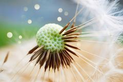 Dandelion flower plant. In the garden in the nature royalty free stock photo