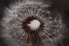 Dandelion flower plant in the garden in summer. Dandelion in the nature royalty free stock photos