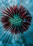 Dandelion flower plant seed. In the garden in the nature stock photo