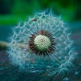 Dandelion flower plant in summer in the garden. Dandelions in the nature royalty free stock photos