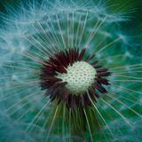 Dandelion flower plant in summer in the garden. Dandelions in the nature royalty free stock image