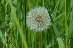 Dandelion, Flower, Plant, White Royalty Free Stock Images