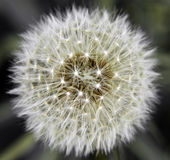 Dandelion flower pollen Royalty Free Stock Photography
