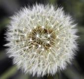 Dandelion flower pollen. Closeup of dandelion flower pollen Royalty Free Stock Photography