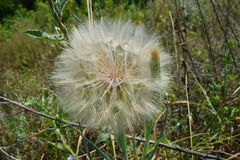Dandelion flower prepares to release its seeds to the wind royalty free stock image