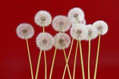 Dandelion flower on red color background, object on blank space backdrop, nature and spring season concept. Stock Photos