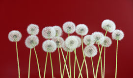 Dandelion flower on red color background, spring season concept. object on blank space backdrop Royalty Free Stock Photos