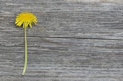 Dandelion flower on rustic wooden board royalty free stock image