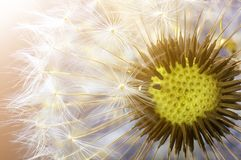 Dandelion flower seed closeup with blurred background.  stock photography