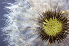 Dandelion flower seed closeup blurred background Royalty Free Stock Images