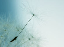 Dandelion flower with seed Stock Photo