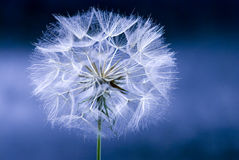 Dandelion flower seed head Royalty Free Stock Photography