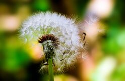 Dandelion flower seed head Royalty Free Stock Images