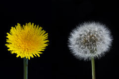 Dandelion flower and seed head Royalty Free Stock Photo