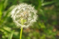 Dandelion flower seed head in meadow.  Royalty Free Stock Photo