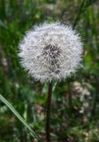 Dandelion flower seeding Stock Photos