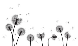 Dandelion flower and seeds Royalty Free Stock Images