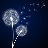 Dandelion flower and seeds Stock Photo