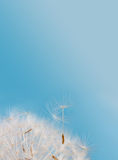 Dandelion flower seeds against blue sky background Royalty Free Stock Photo