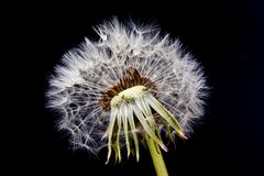 Dandelion flower with seeds ball on black background.  stock photography