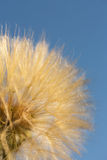 Dandelion flower with seeds ball close up. Blue background. foursquare view Stock Photo