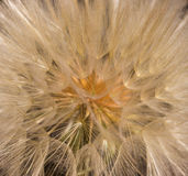 Dandelion flower with seeds ball close up. Brown background. foursquare view Royalty Free Stock Photo