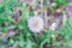 Dandelion flower with seeds ball close up royalty free stock photography