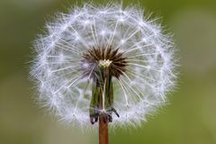 Dandelion flower with seeds ball close up inGreen background. Horizontal view royalty free stock photo