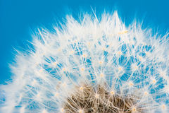 Dandelion flower seeds blowball. Macro of a dandelion flower seeds blowball stock image
