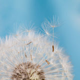 Dandelion flower with seeds. Blue background. Macro view. Royalty Free Stock Image