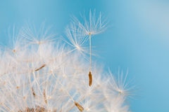 Dandelion flower with seeds. Blue background. Macro view. Stock Images