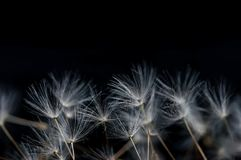 Dandelion flower seeds close up macro royalty free stock photo