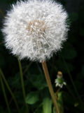 Dandelion flower with seeds Stock Photography