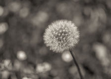 Dandelion. Flower sitting alone on a field Stock Photo