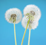 Dandelion flower on sky background. Object isolated on blue. Spring concept. Stock Image