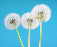 Dandelion flower on sky background. Object isolated on blue. Spring concept. Royalty Free Stock Image