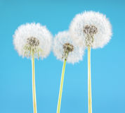 Dandelion flower on sky background. Object isolated on blue. Spring concept. stock photos