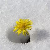 Dandelion flower in the snow.  Royalty Free Stock Image