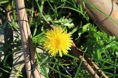Dandelion flower in Spain stock images