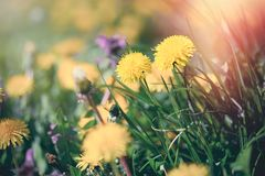 Dandelion flower in spring, flowering dandelion flowers. In meadow, beauty in nature Stock Image