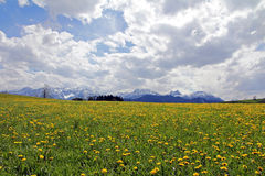 Dandelion flower in the spring before the snowy Alps Royalty Free Stock Photos