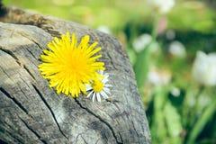 Dandelion flower in spring Stock Photos
