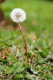 Dandelion flower Royalty Free Stock Photography