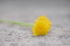 Dandelion flower on stone Royalty Free Stock Image