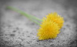 Dandelion flower on stone Royalty Free Stock Photos