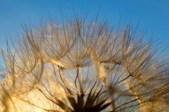 Dandelion flower at sunset. Stock Image